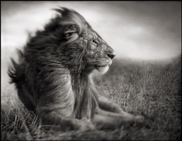 lion before storm ii - sitting profile, maasai mara by nick brandt
