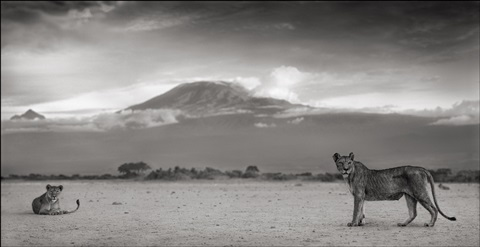 lioness with kilimanjaro, amboseli by nick brandt