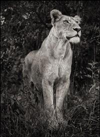 lioness against dark foliage, serengeti by nick brandt