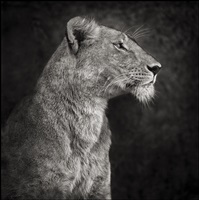 portrait of lioness against rock, serengeti by nick brandt