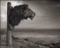 lion trophy, chyulu hills, kenya by nick brandt