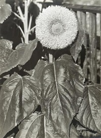 sunflower in full bloom (gefüllte sonnenblume) by albert renger-patzsch