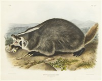 american badger by john james audubon
