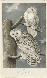 snowy owl by john james audubon