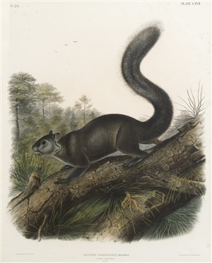 dusky squirrel by john james audubon