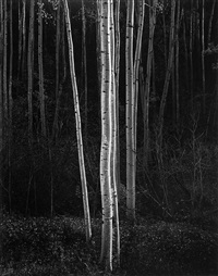 aspens, new mexico by ansel adams