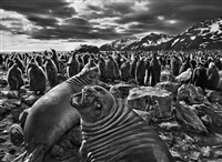 southern elephant seal calves, saint andrew's bay, south georgia, 2009 by sebastião salgado