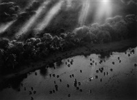 african buffalo herd in the okavango delta, botswana, 2007 by sebastião salgado