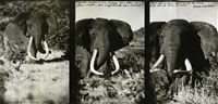 marsabit, march (elephant triptych) by peter beard