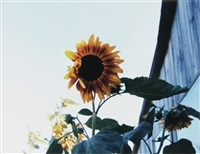 sunflowers, phillies bridge farm, new paltz, ny by james welling