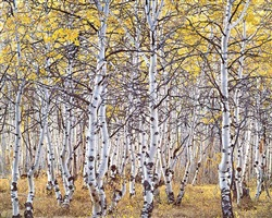 black mountain aspen forest, utah by christopher burkett