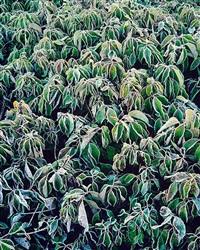 frosty green dogwood, kentucky by christopher burkett