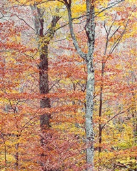 golden forest, vermont by christopher burkett