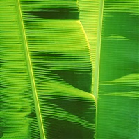 green banana leaves, hawaii by christopher burkett