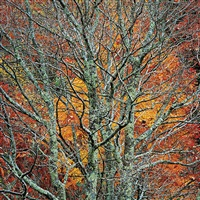 green oak and golden maple, north carolina by christopher burkett