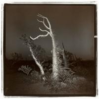 untitled (boojum tree #3) by richard misrach