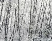 snowy alder forest, oregon by christopher burkett