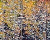 snowy aspen branches, colorado by christopher burkett