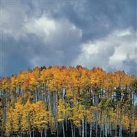 stormy aspens, colorado by christopher burkett