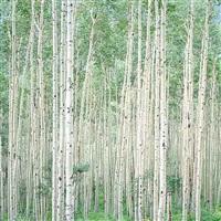 summer aspen forest, colorado by christopher burkett