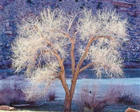 sunlight, cottonwood and colorado river, utah by christopher burkett