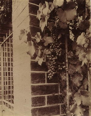 vigne (grape vine) by eugène atget