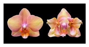 calypsa (normal blossom/peloric mutation) by susan eder