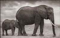 elephant mother & baby at leg, amboseli by nick brandt