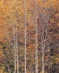 young yellow poplars, kentucky by christopher burkett
