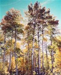sunlit towering aspens, colorado by christopher burkett