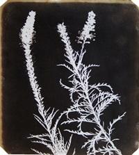 veronica in bloom by william henry fox talbot